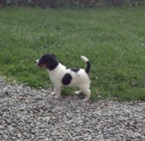 Hund fra danmark til sverige